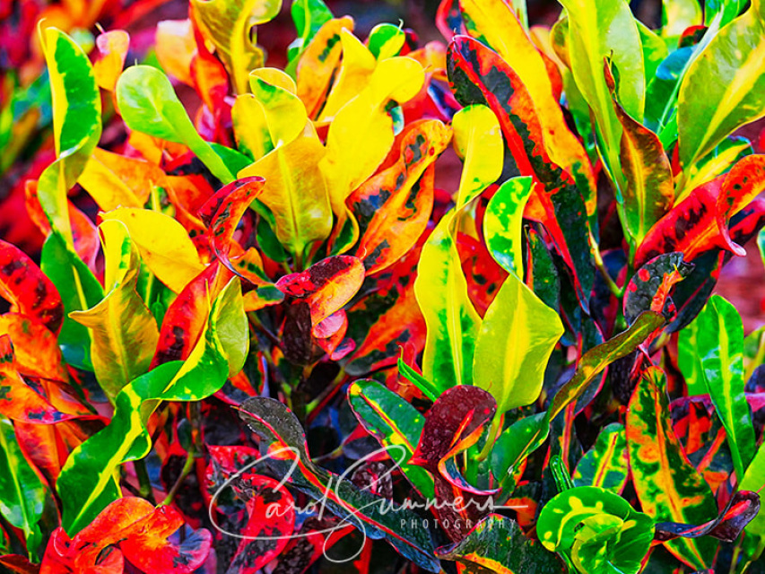 Colorful baby croton plant with red green purple and yellow leaves mightylinksfo